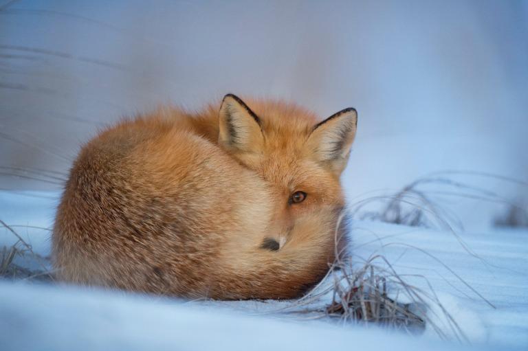 雪の上に座るきつね