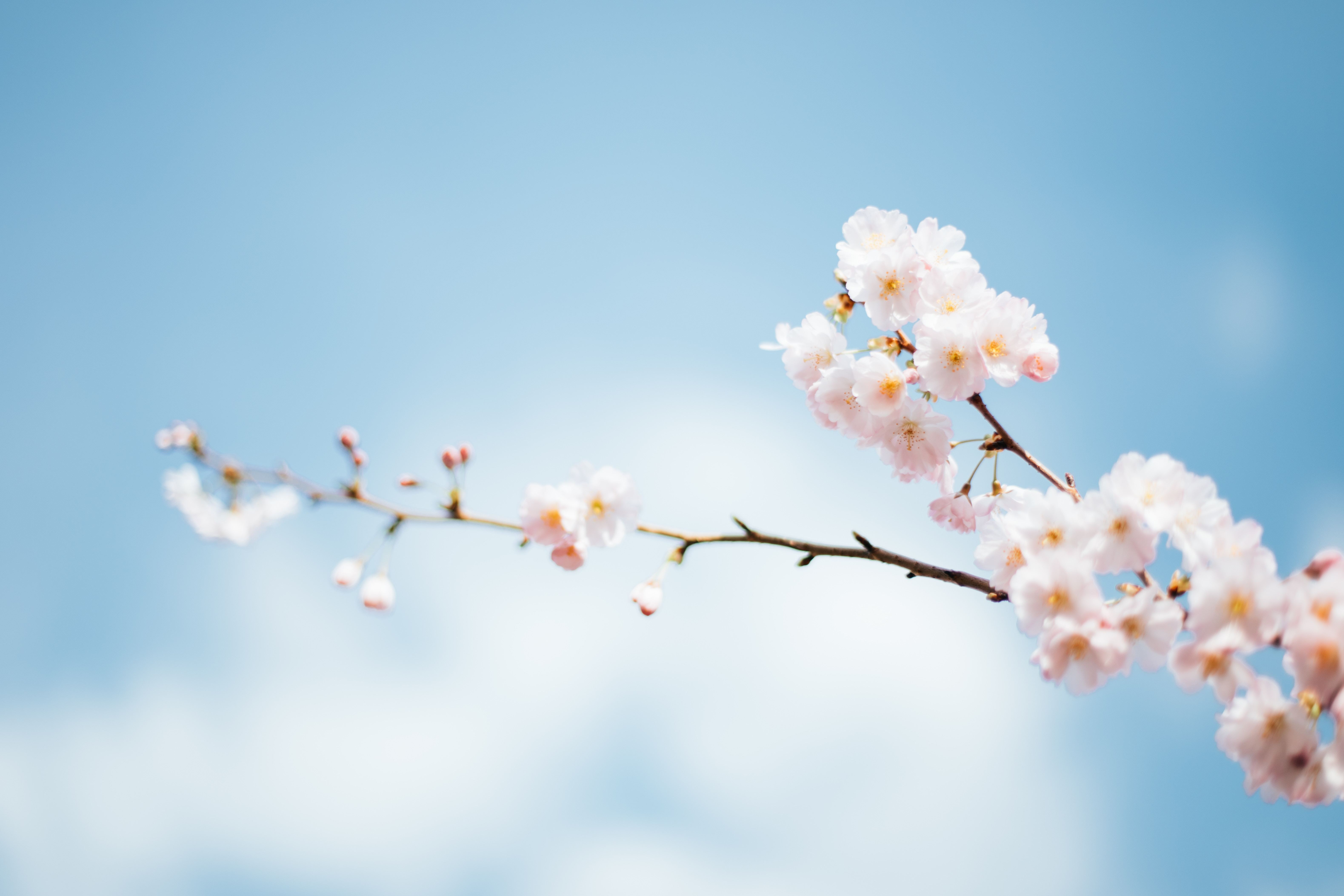青空と桜の枝