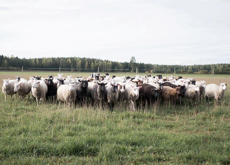 牧場に羊がいる様子