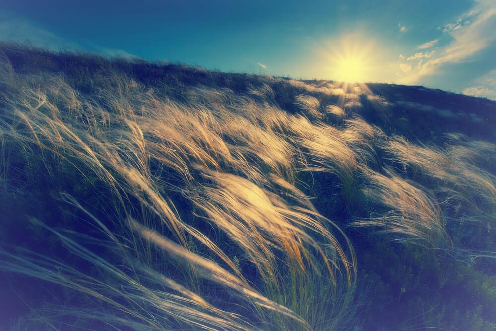 風に揺れ輝くススキ